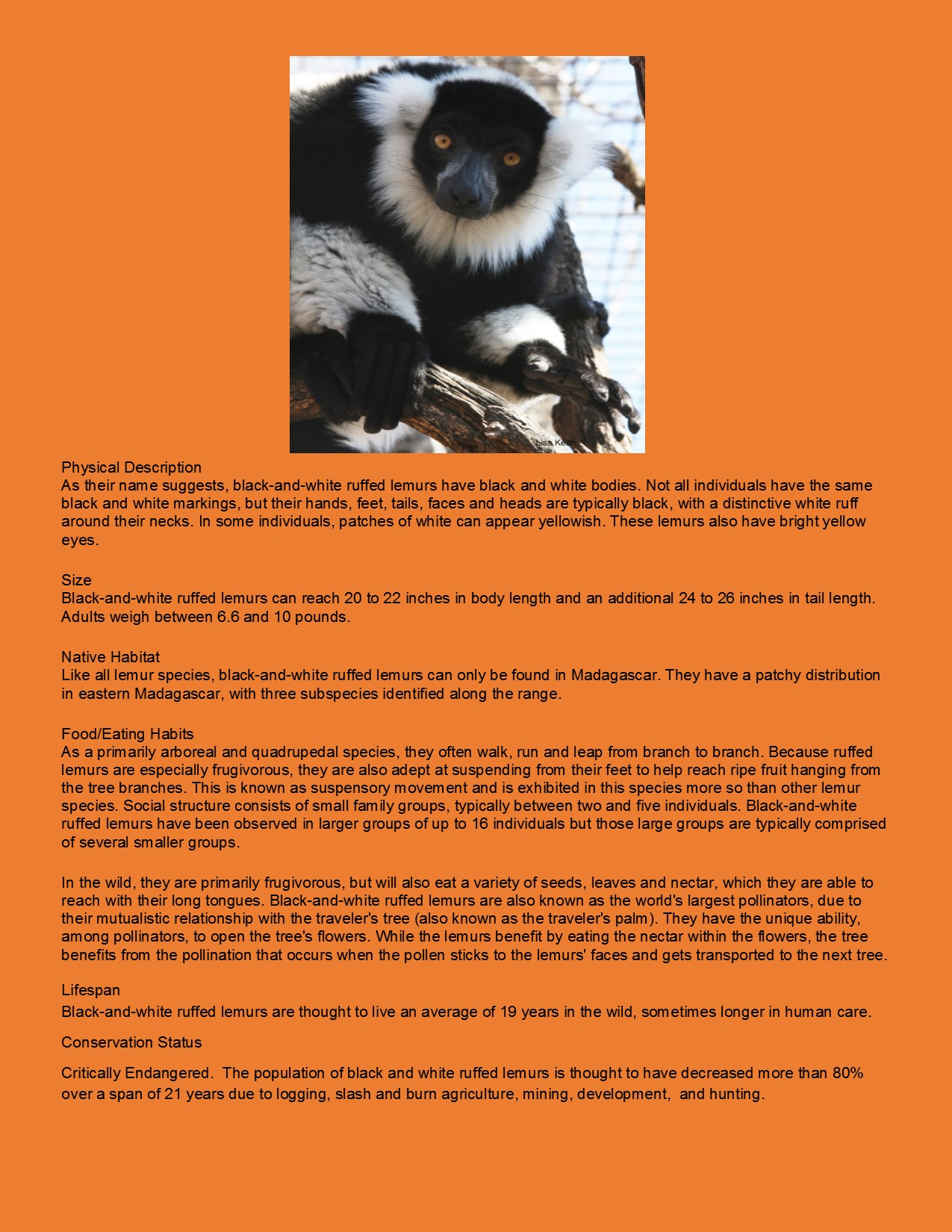Black and White Ruffled Lemur3